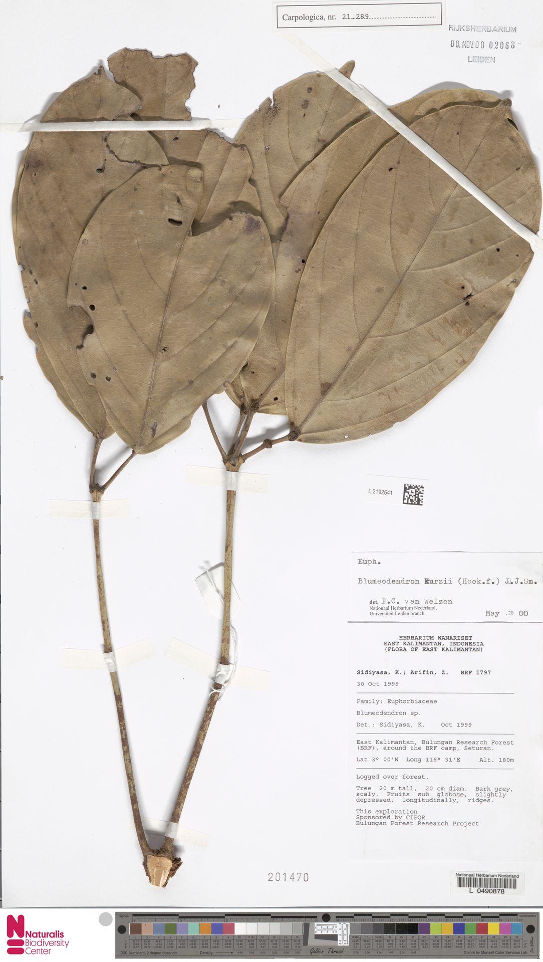 L.2192641 | Blumeodendron kurzii (Hook.f.) J.J.Sm.