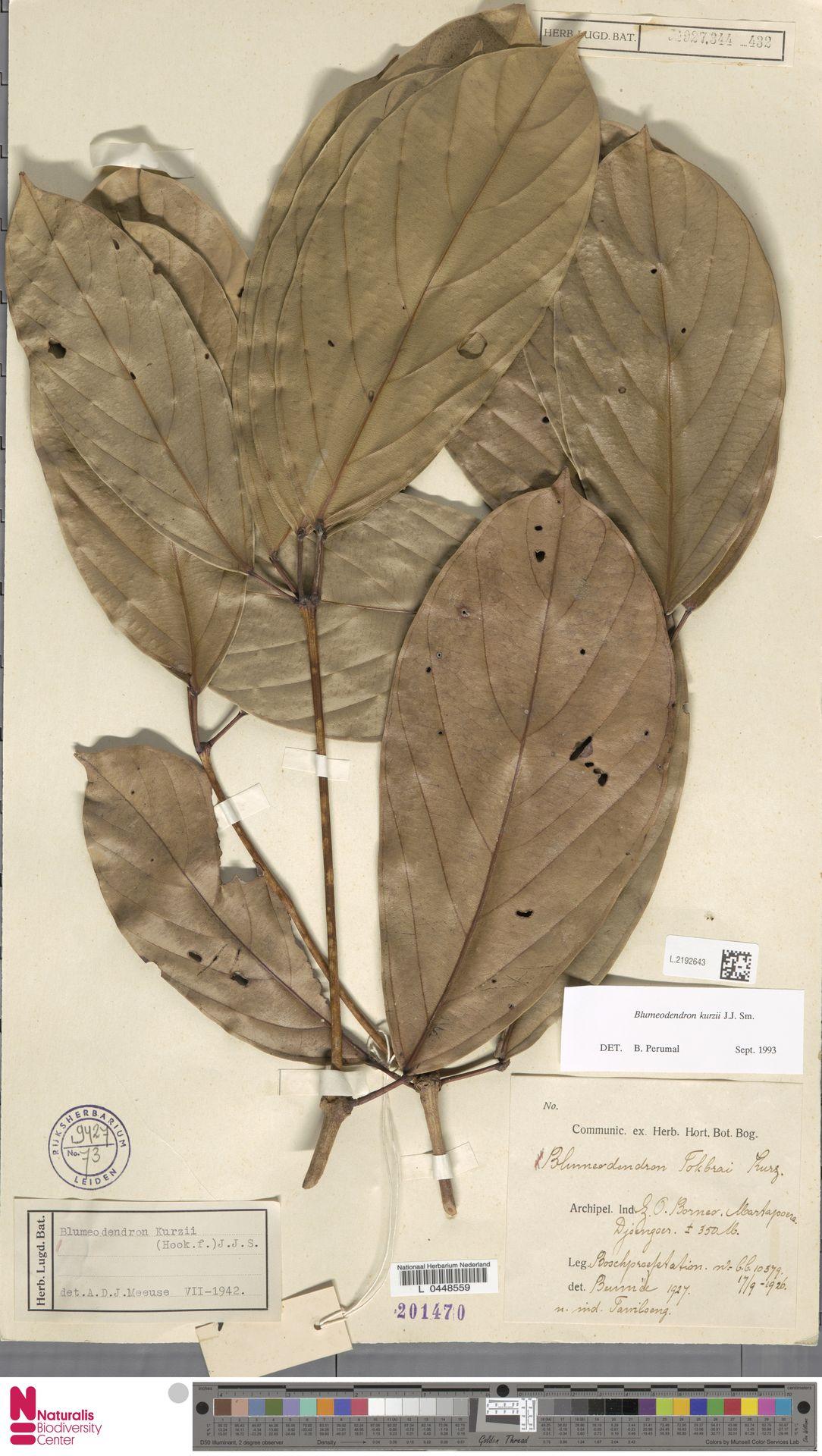 L.2192643 | Blumeodendron kurzii (Hook.f.) J.J.Sm.
