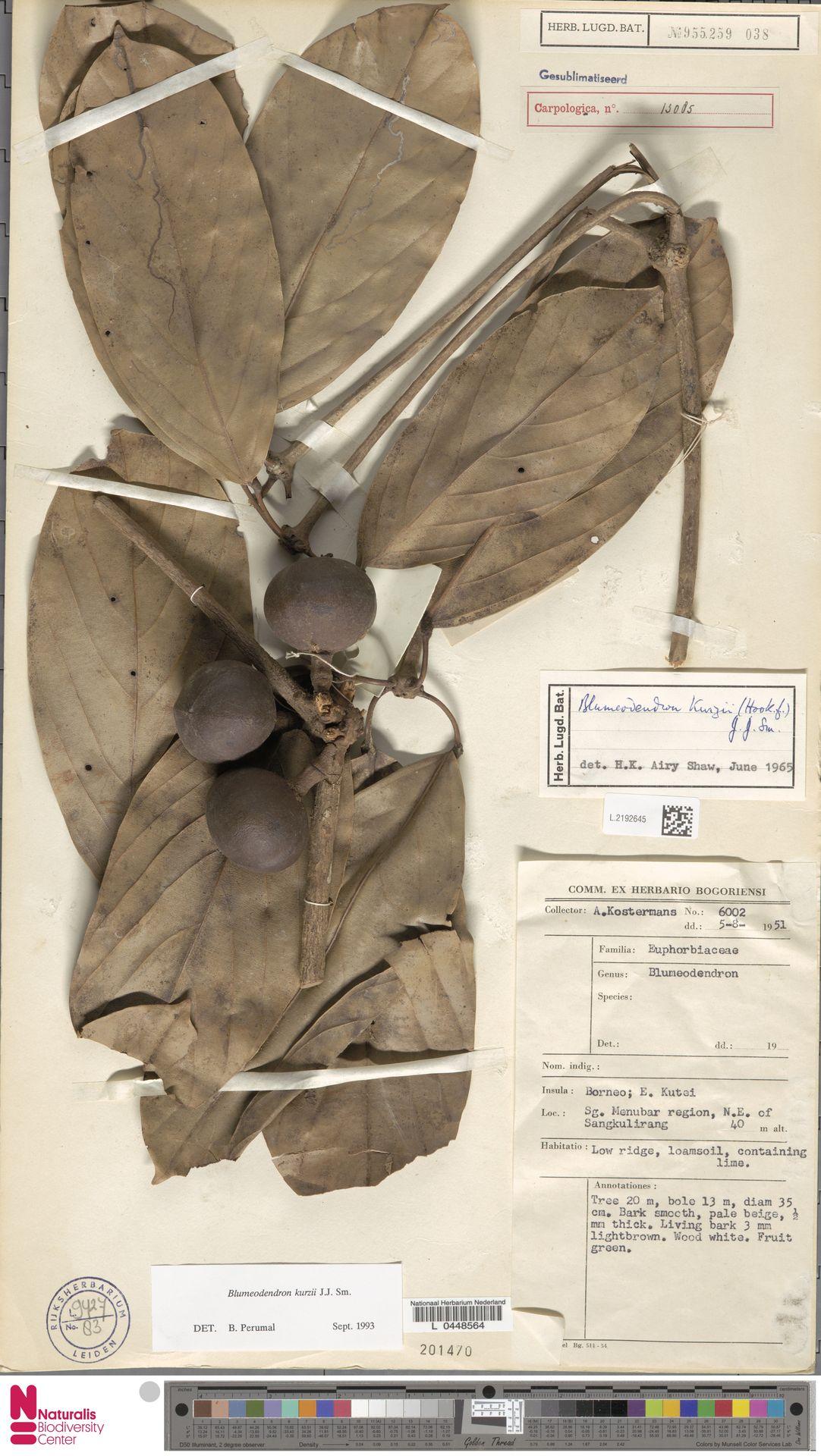 L.2192645 | Blumeodendron kurzii (Hook.f.) J.J.Sm.