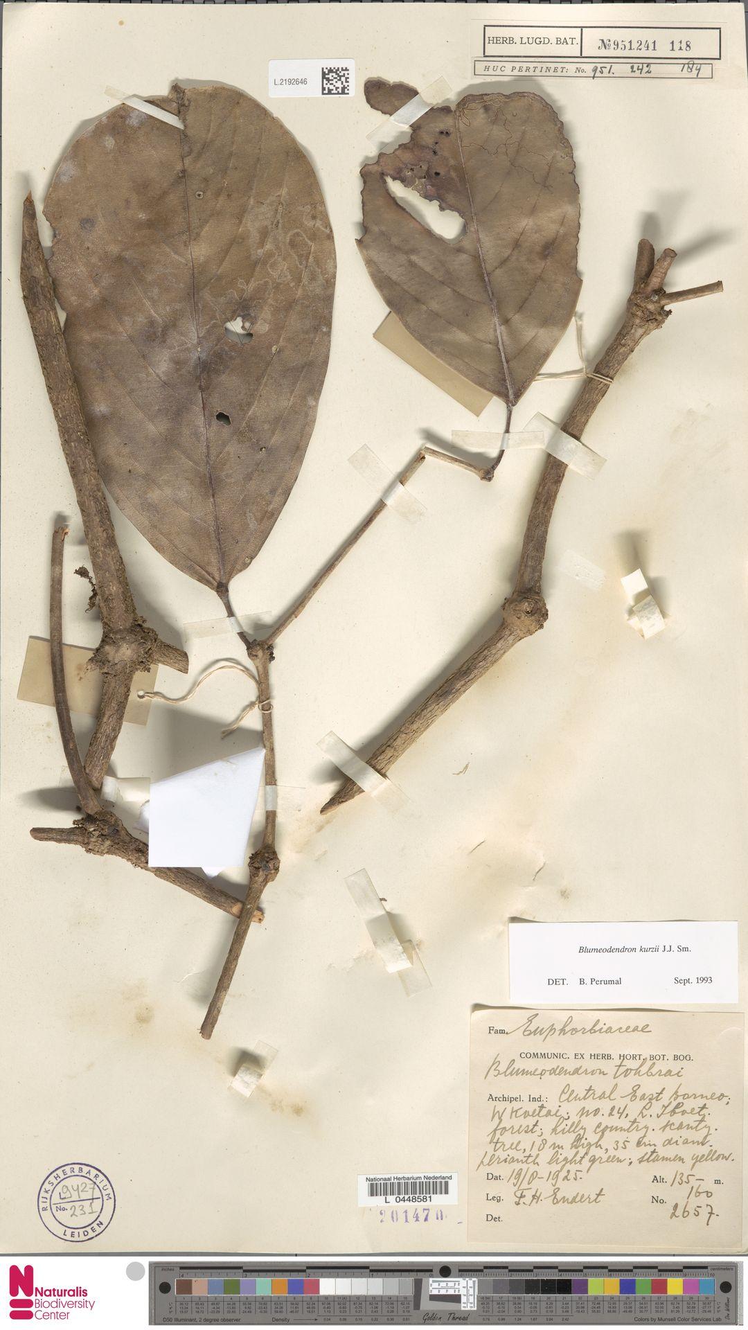 L.2192646 | Blumeodendron kurzii (Hook.f.) J.J.Sm.