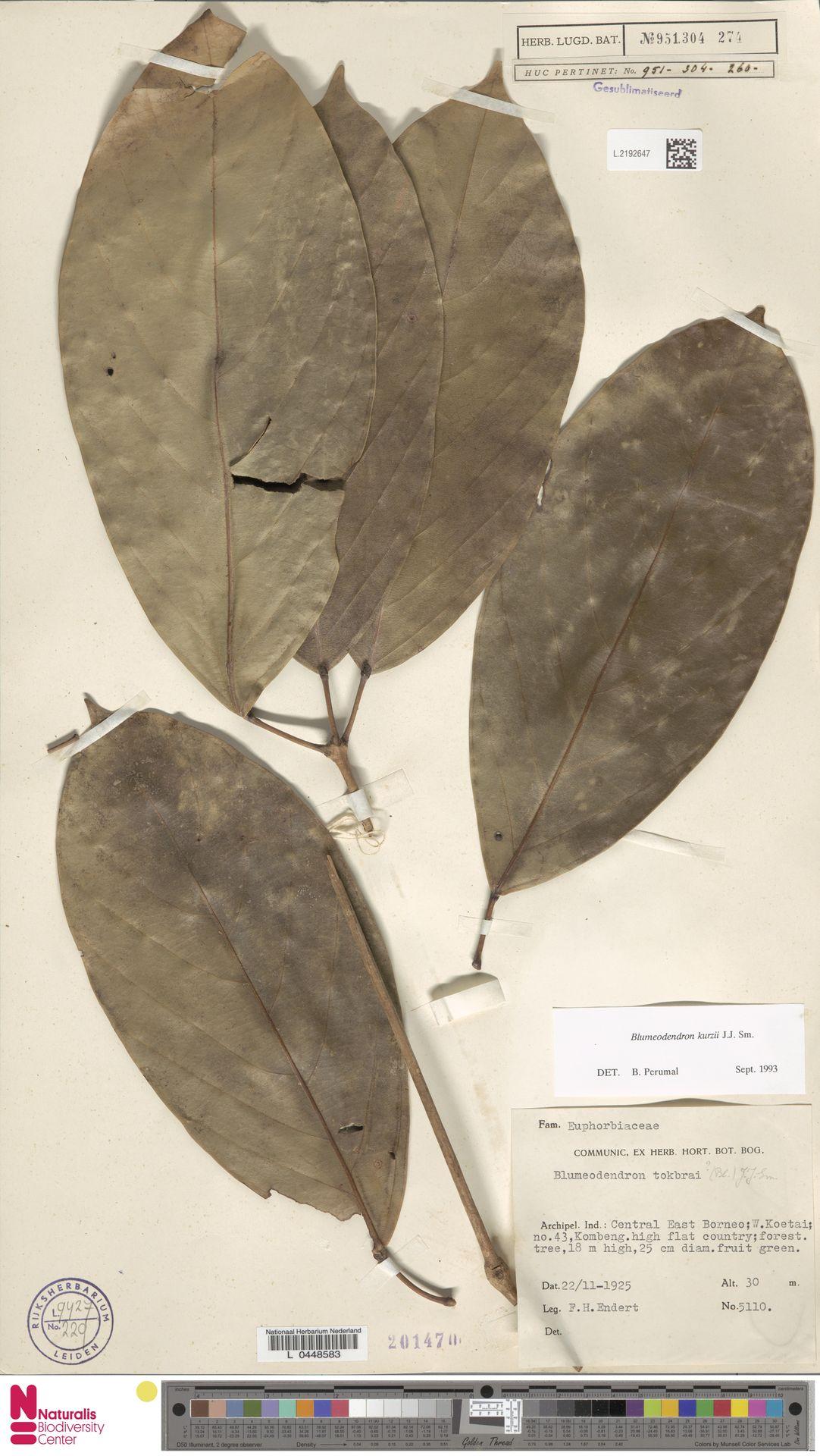 L.2192647 | Blumeodendron kurzii (Hook.f.) J.J.Sm.