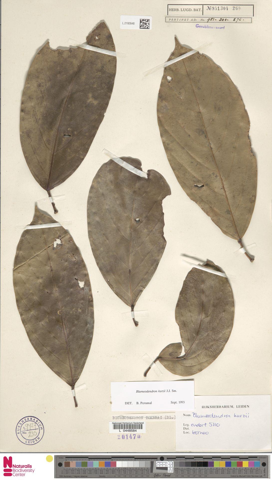 L.2192648 | Blumeodendron kurzii (Hook.f.) J.J.Sm.