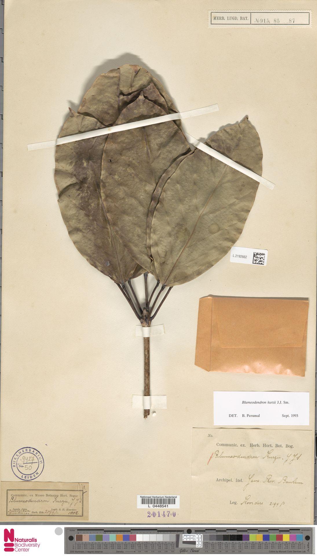 L.2192662 | Blumeodendron kurzii (Hook.f.) J.J.Sm.