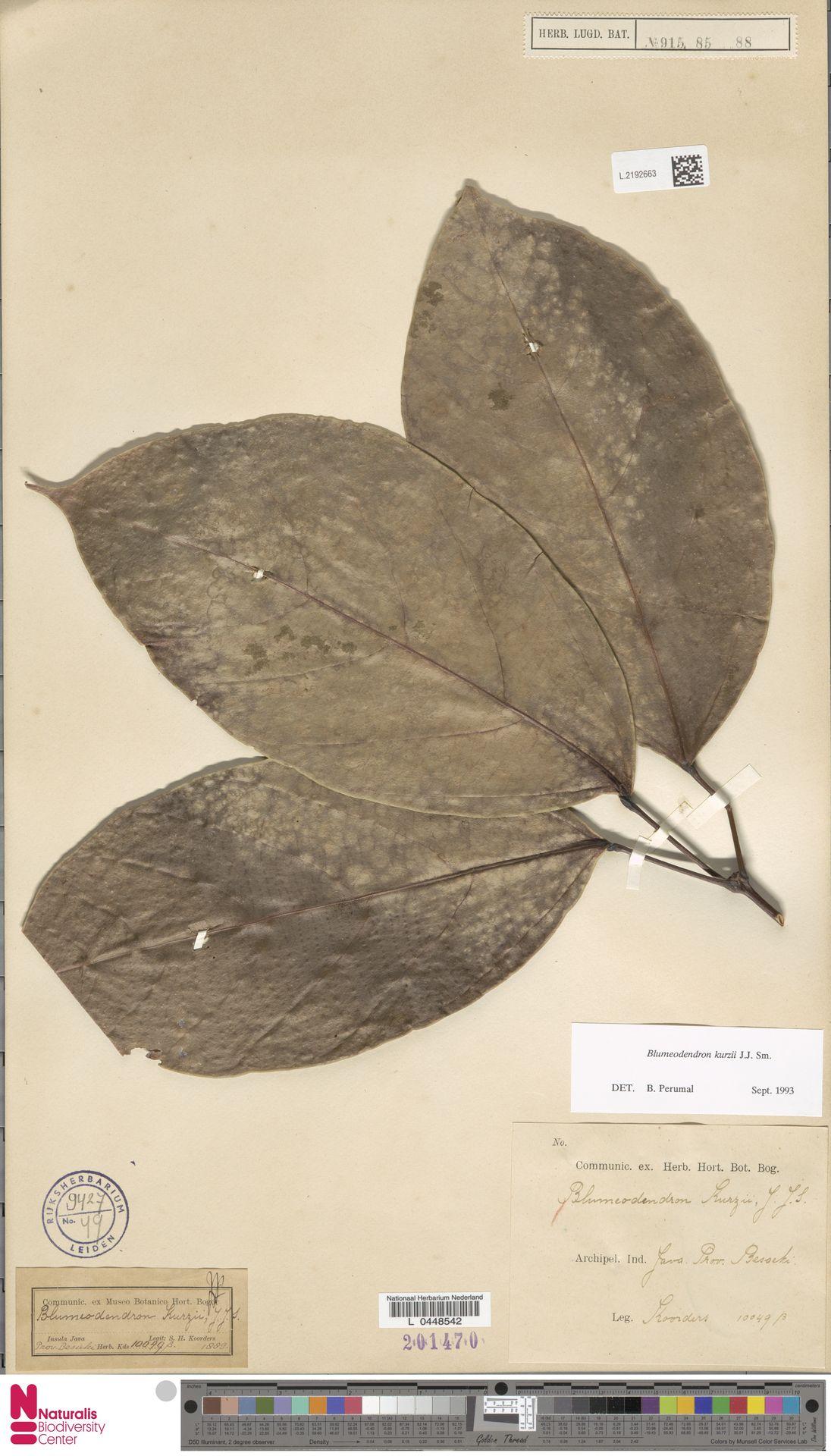 L.2192663 | Blumeodendron kurzii (Hook.f.) J.J.Sm.