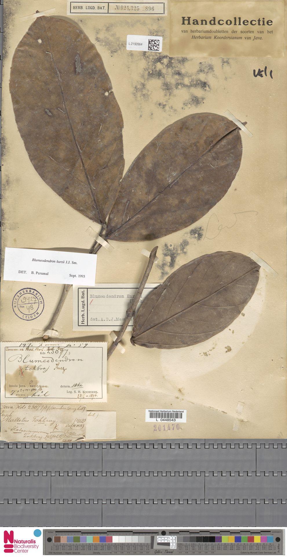 L.2192664 | Blumeodendron kurzii (Hook.f.) J.J.Sm.