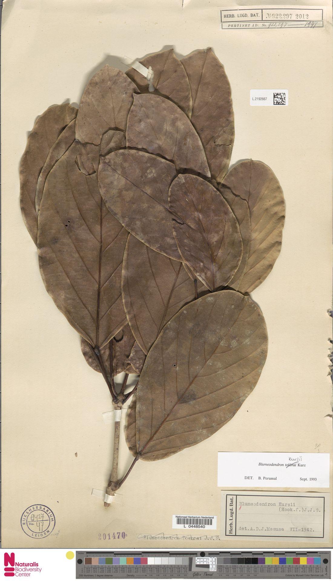 L.2192667 | Blumeodendron kurzii (Hook.f.) J.J.Sm.