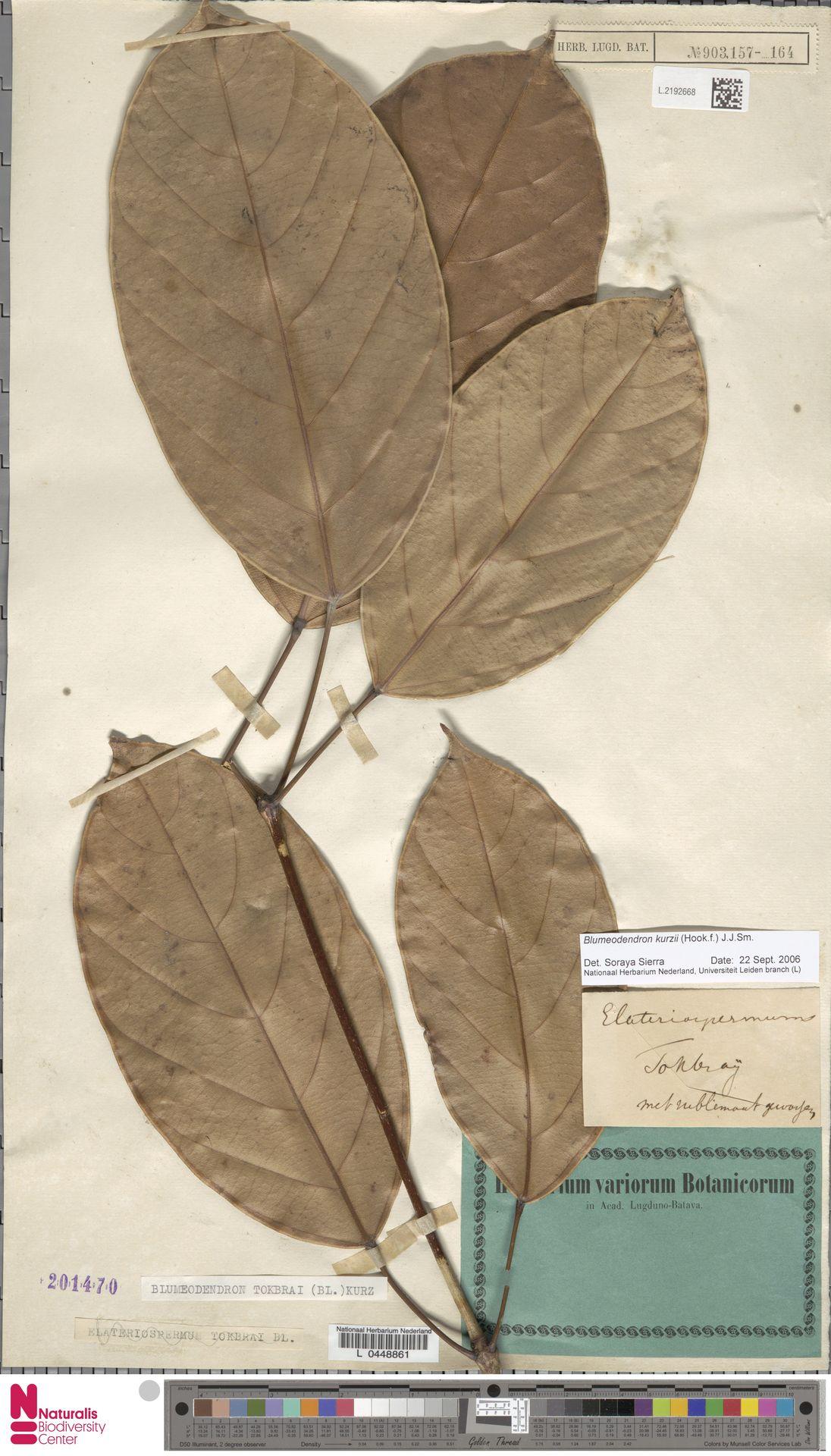 L.2192668 | Blumeodendron kurzii (Hook.f.) J.J.Sm.