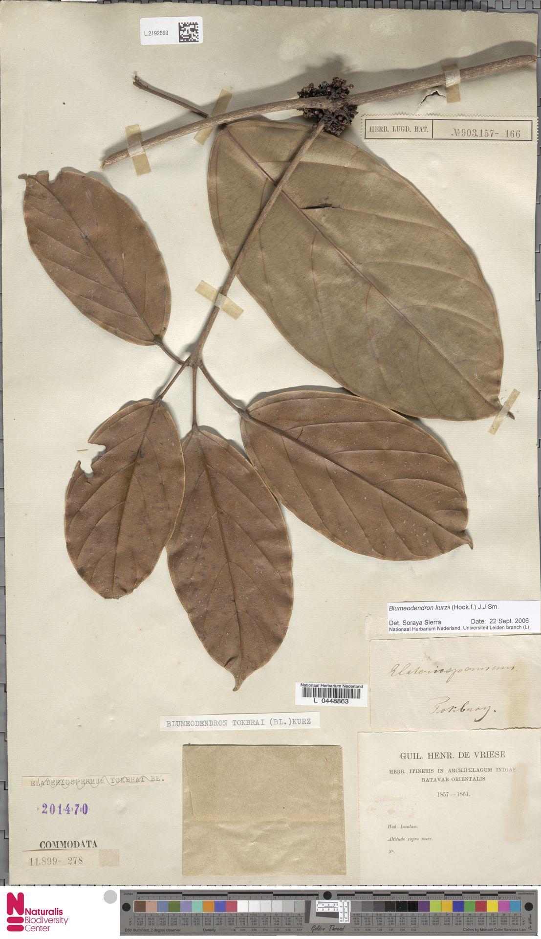 L.2192669 | Blumeodendron kurzii (Hook.f.) J.J.Sm.