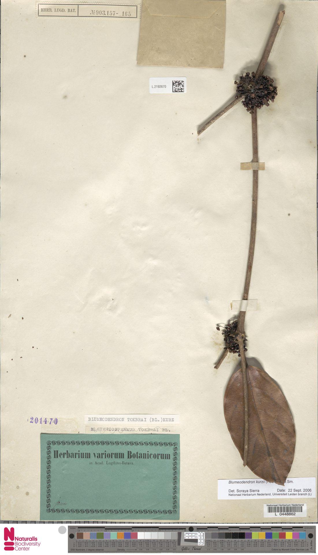 L.2192670 | Blumeodendron kurzii (Hook.f.) J.J.Sm.