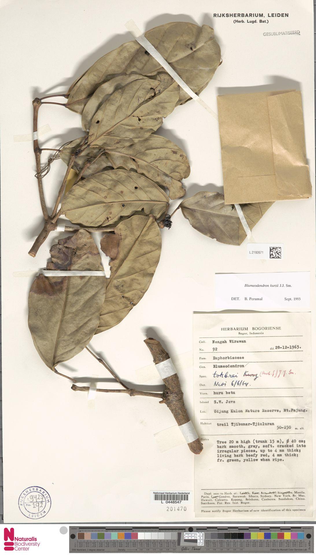 L.2192671 | Blumeodendron kurzii (Hook.f.) J.J.Sm.