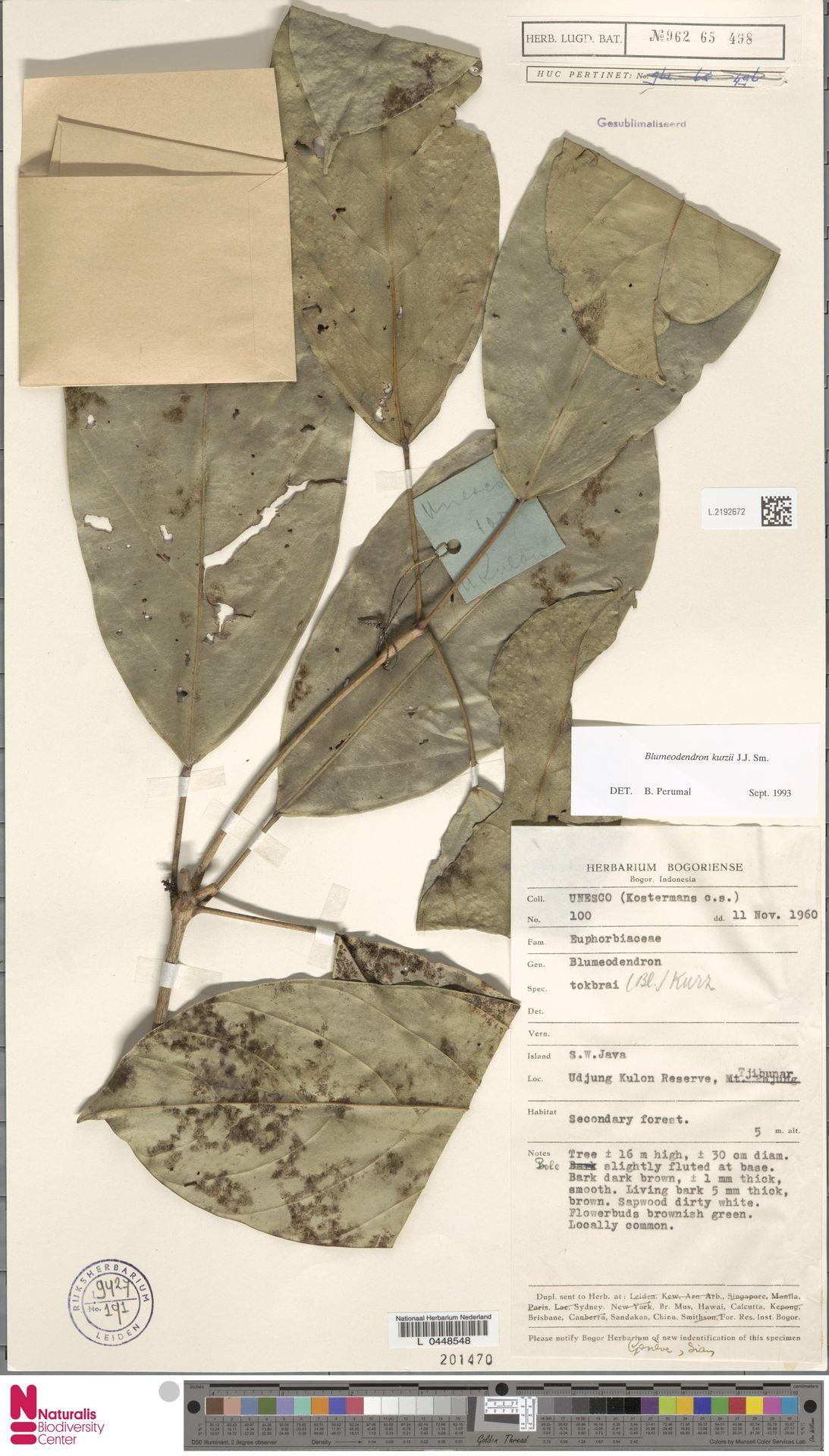 L.2192672 | Blumeodendron kurzii (Hook.f.) J.J.Sm.
