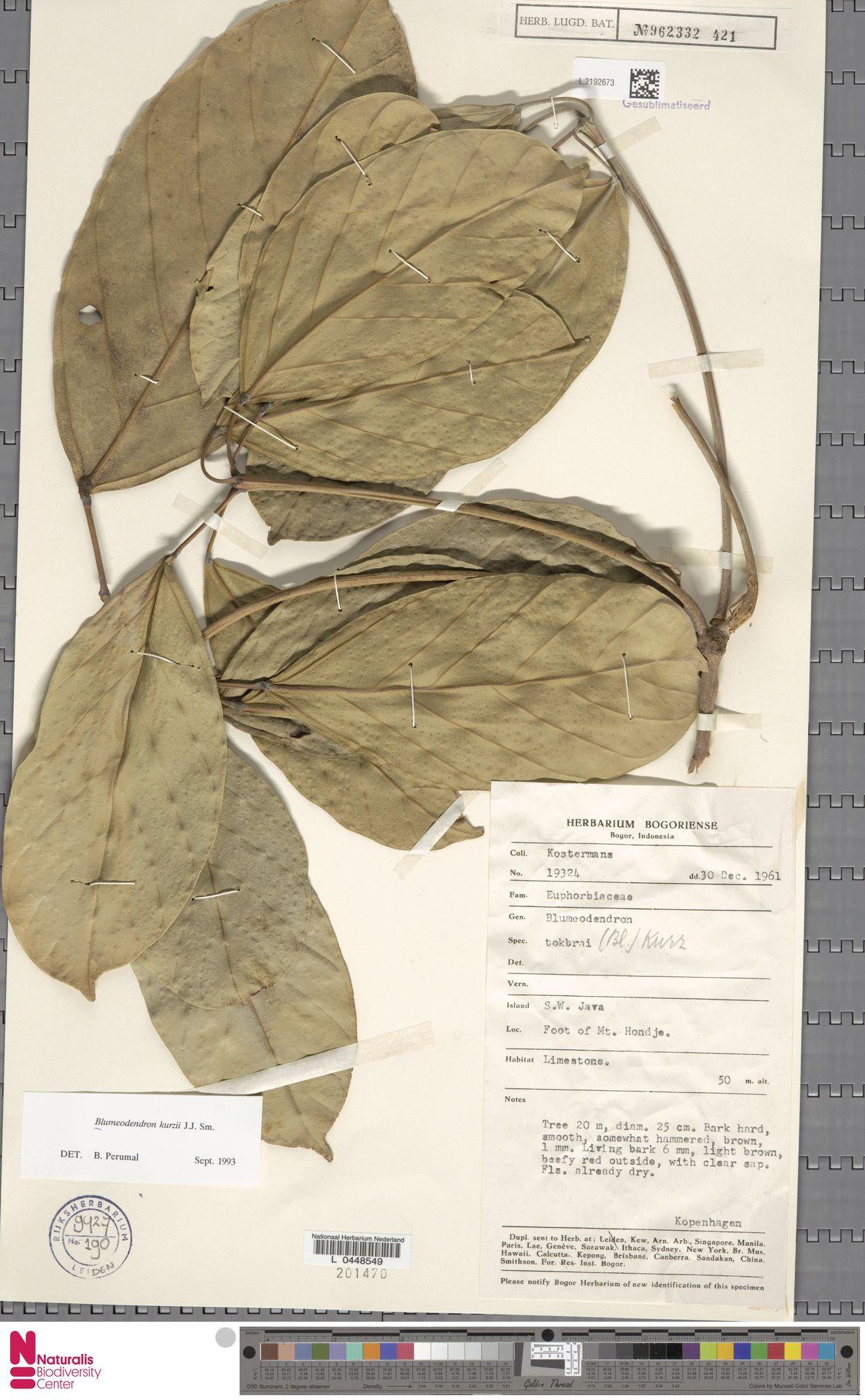 L.2192673   Blumeodendron kurzii (Hook.f.) J.J.Sm.