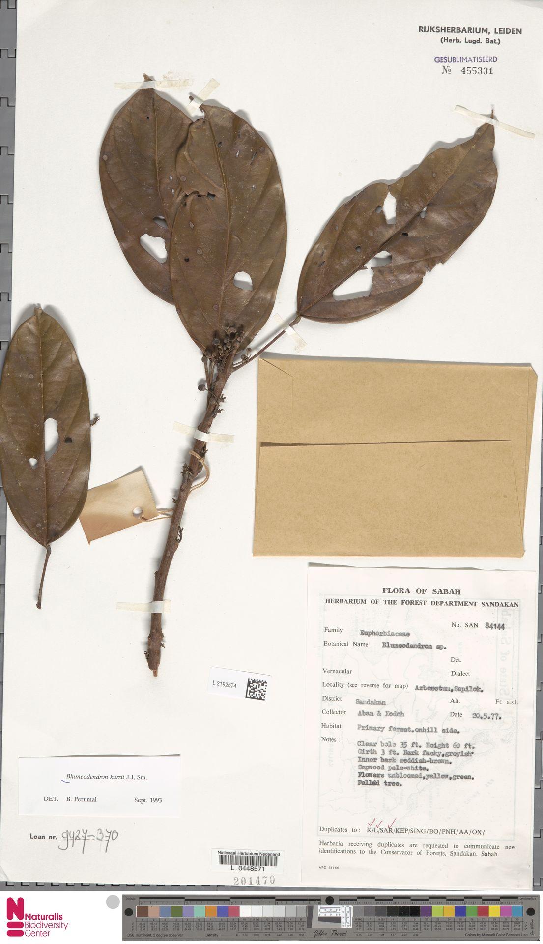 L.2192674 | Blumeodendron kurzii (Hook.f.) J.J.Sm.