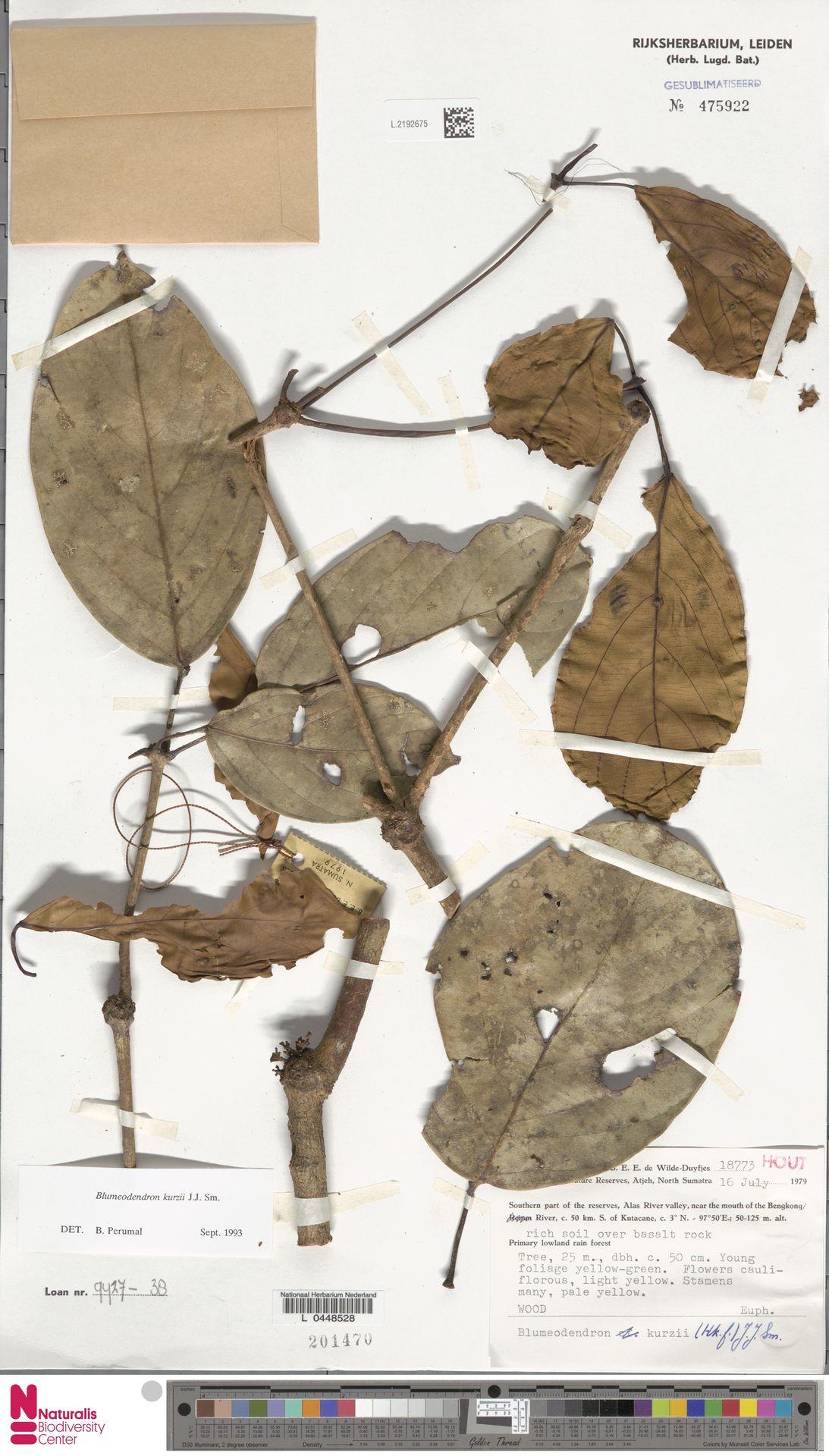 L.2192675   Blumeodendron kurzii (Hook.f.) J.J.Sm.