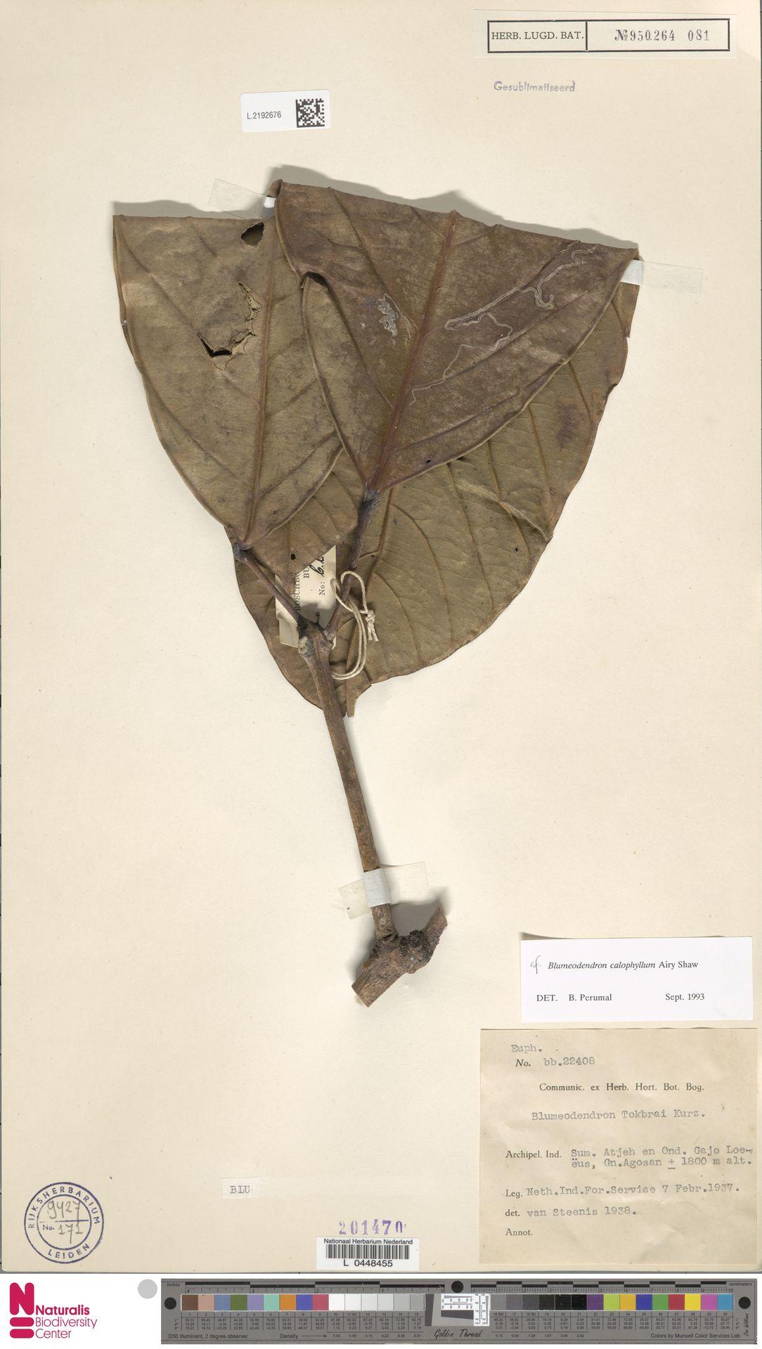 L.2192676 | Blumeodendron kurzii (Hook.f.) J.J.Sm.