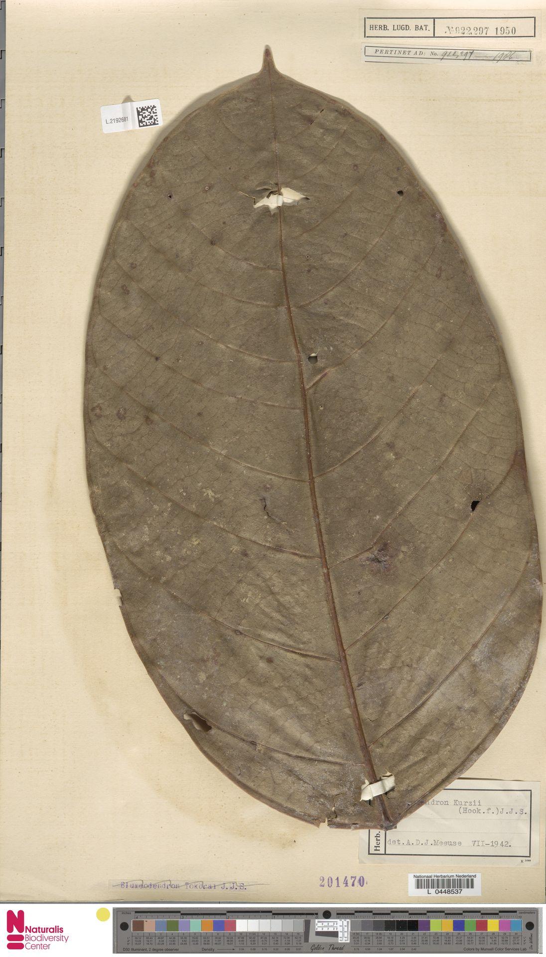 L.2192681 | Blumeodendron kurzii (Hook.f.) J.J.Sm.