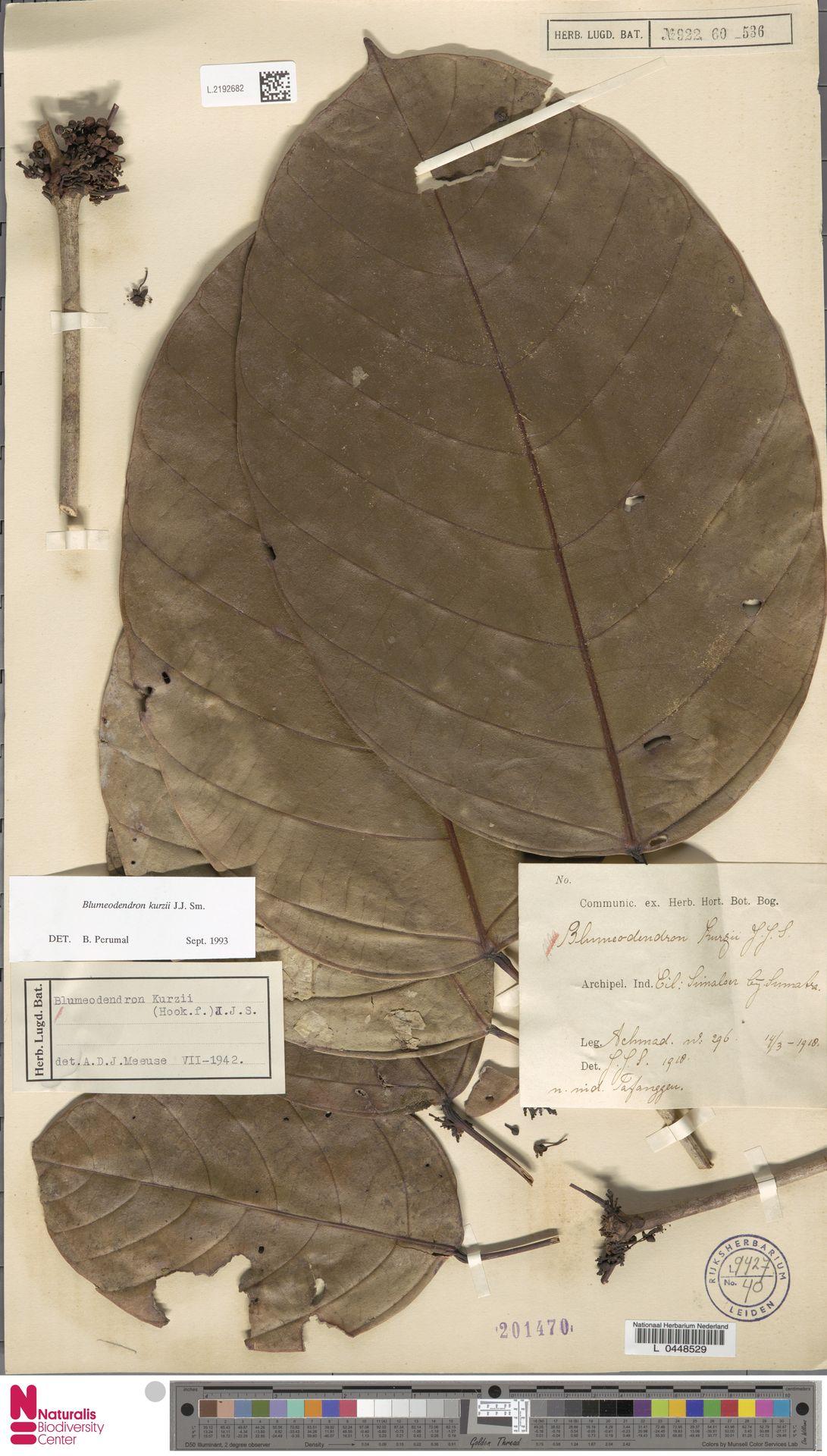 L.2192682 | Blumeodendron kurzii (Hook.f.) J.J.Sm.
