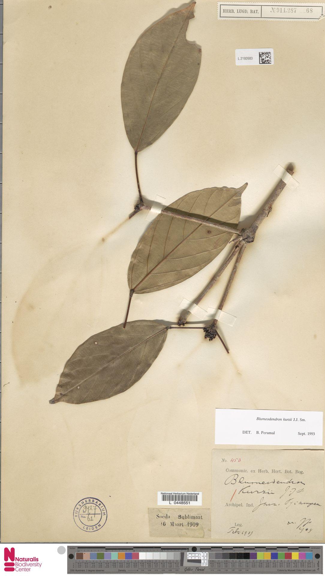 L.2192683   Blumeodendron kurzii (Hook.f.) J.J.Sm.
