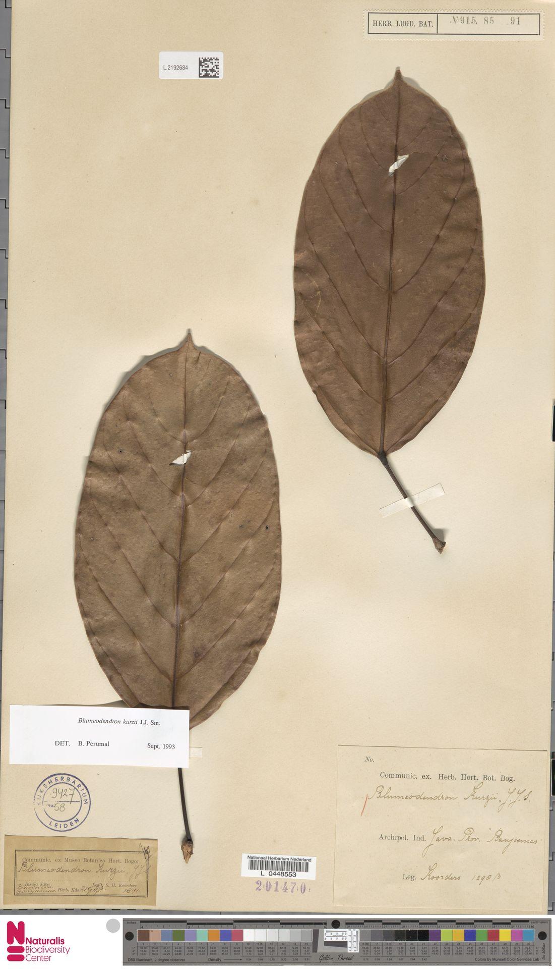 L.2192684 | Blumeodendron kurzii (Hook.f.) J.J.Sm.