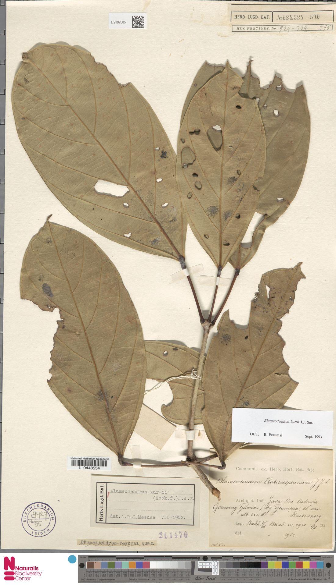 L.2192685 | Blumeodendron kurzii (Hook.f.) J.J.Sm.