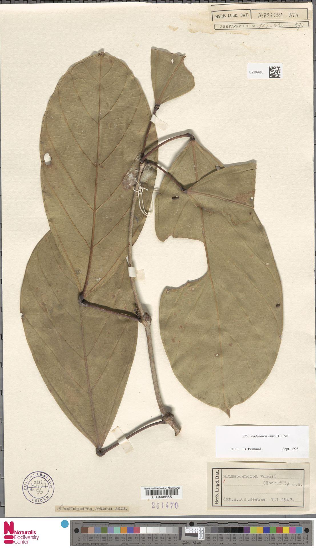 L.2192686 | Blumeodendron kurzii (Hook.f.) J.J.Sm.