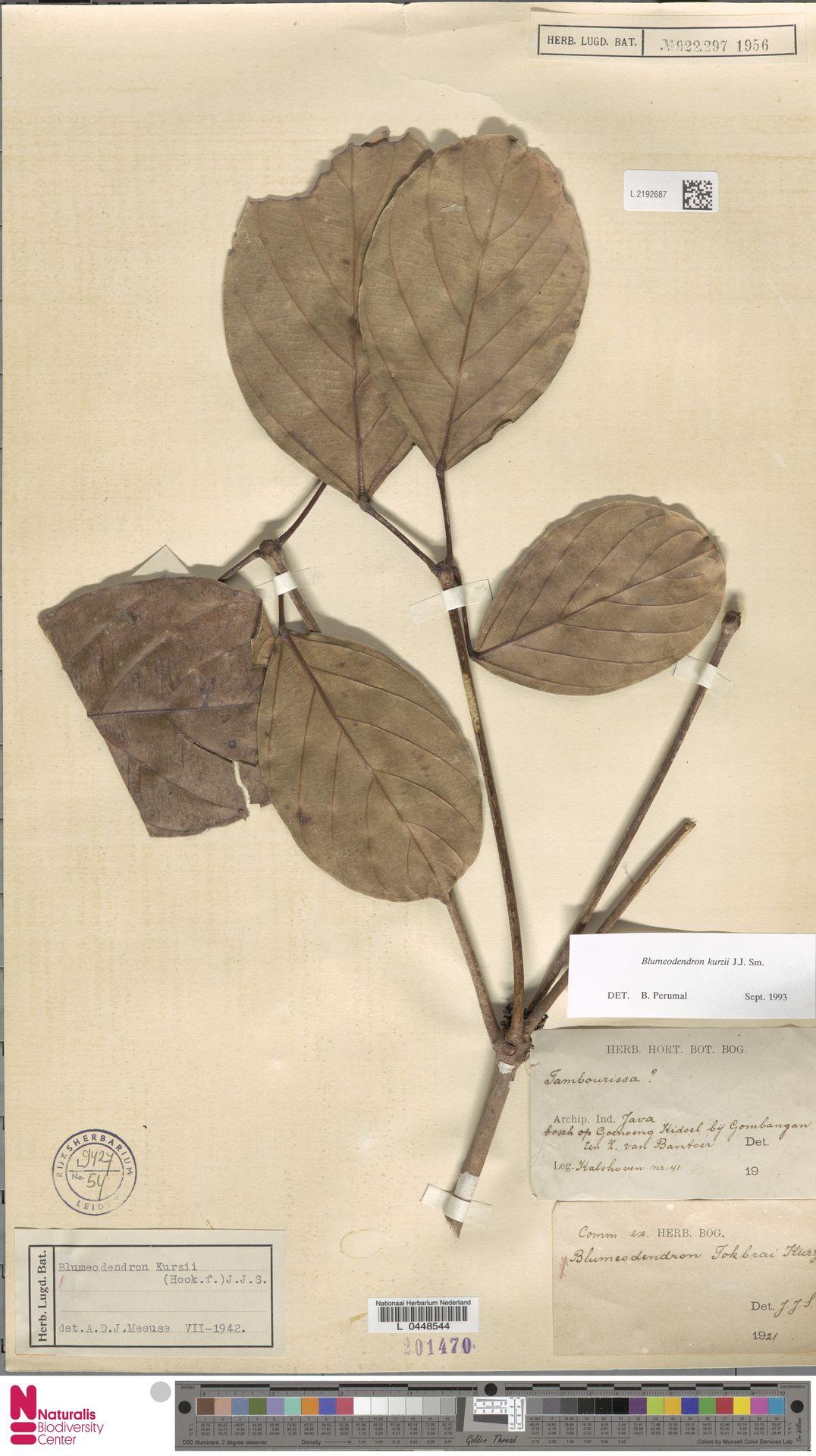 L.2192687 | Blumeodendron kurzii (Hook.f.) J.J.Sm.