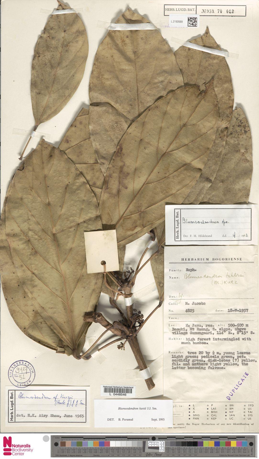 L.2192689 | Blumeodendron kurzii (Hook.f.) J.J.Sm.