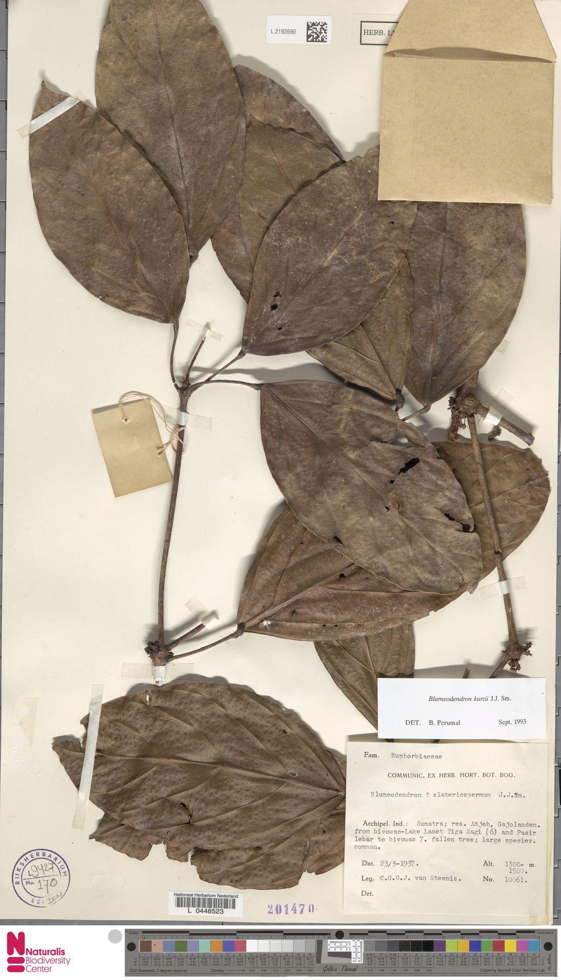 L.2192690   Blumeodendron kurzii (Hook.f.) J.J.Sm.