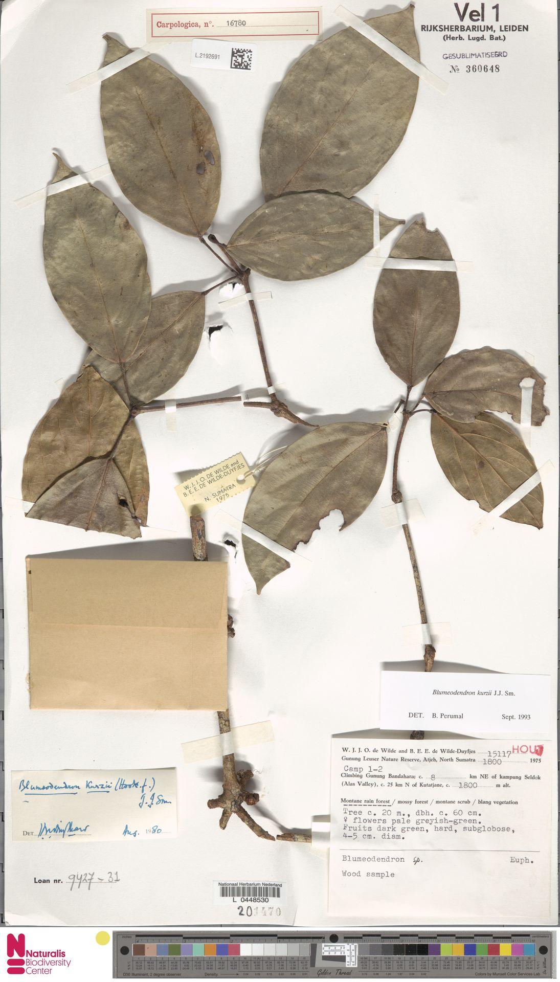 L.2192691 | Blumeodendron kurzii (Hook.f.) J.J.Sm.