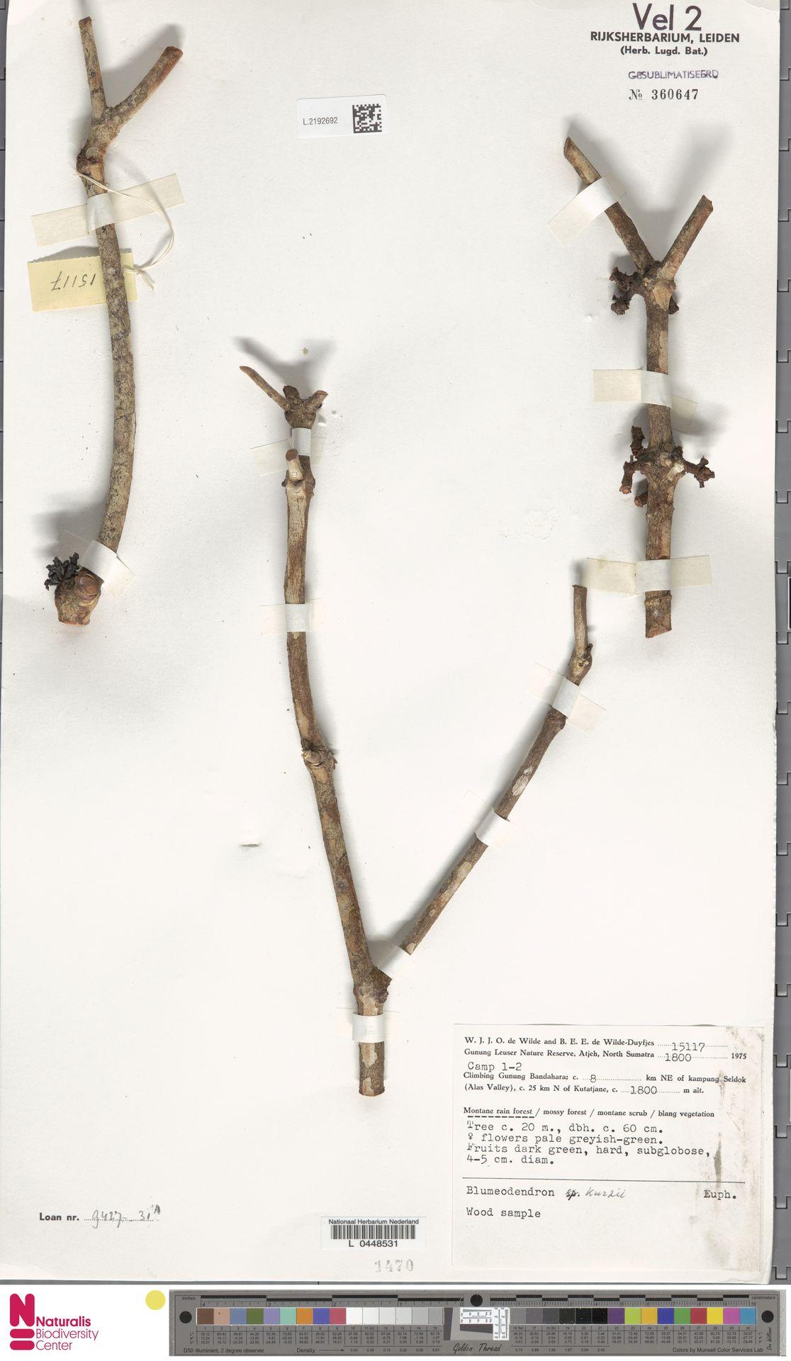 L.2192692 | Blumeodendron kurzii (Hook.f.) J.J.Sm.