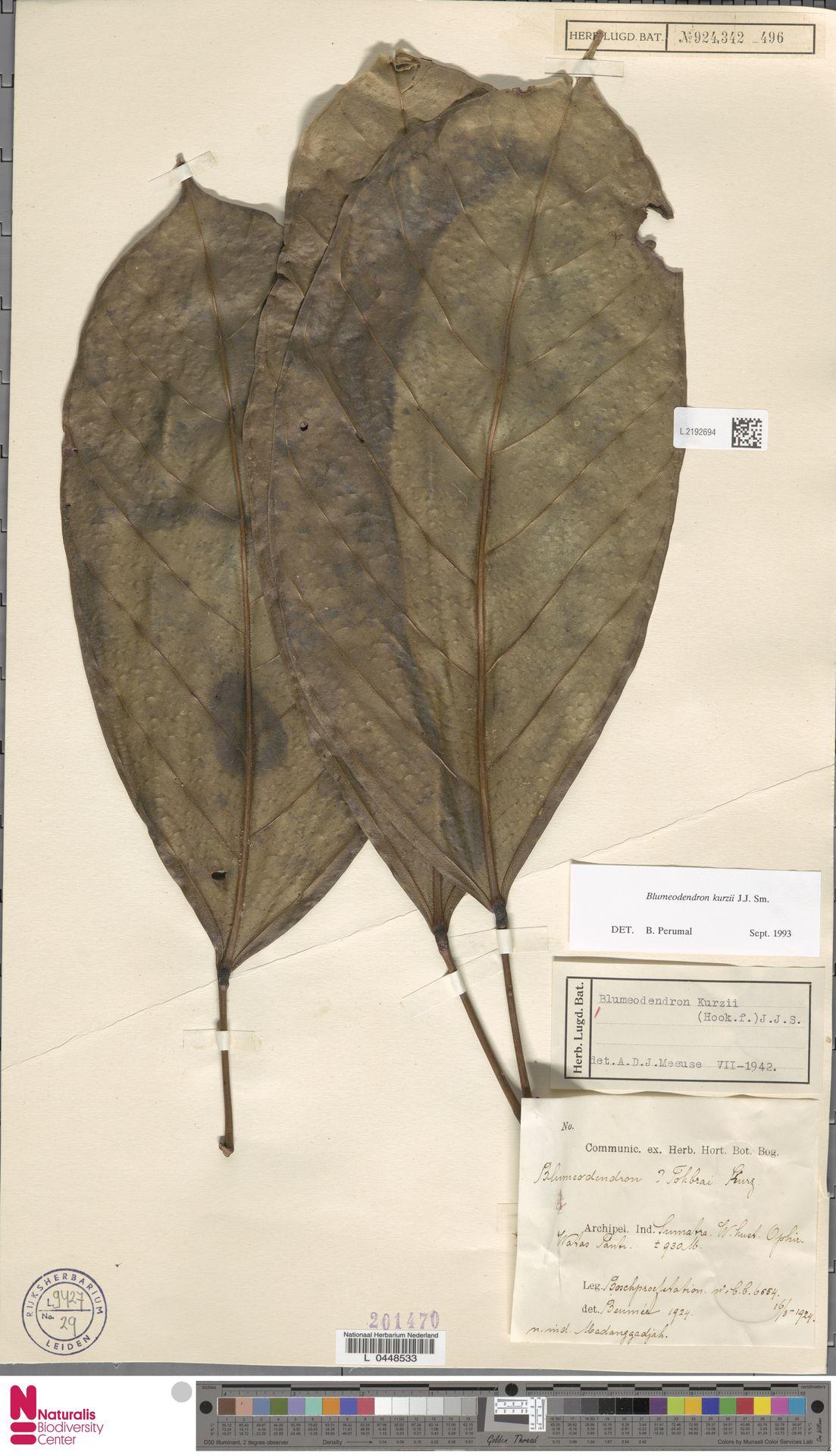 L.2192694 | Blumeodendron kurzii (Hook.f.) J.J.Sm.
