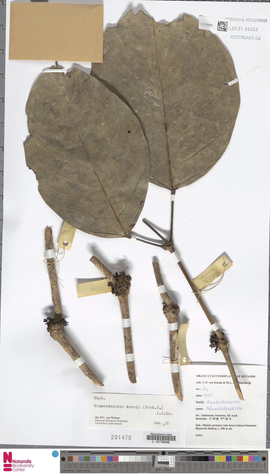 L.2192695 | Blumeodendron kurzii (Hook.f.) J.J.Sm.