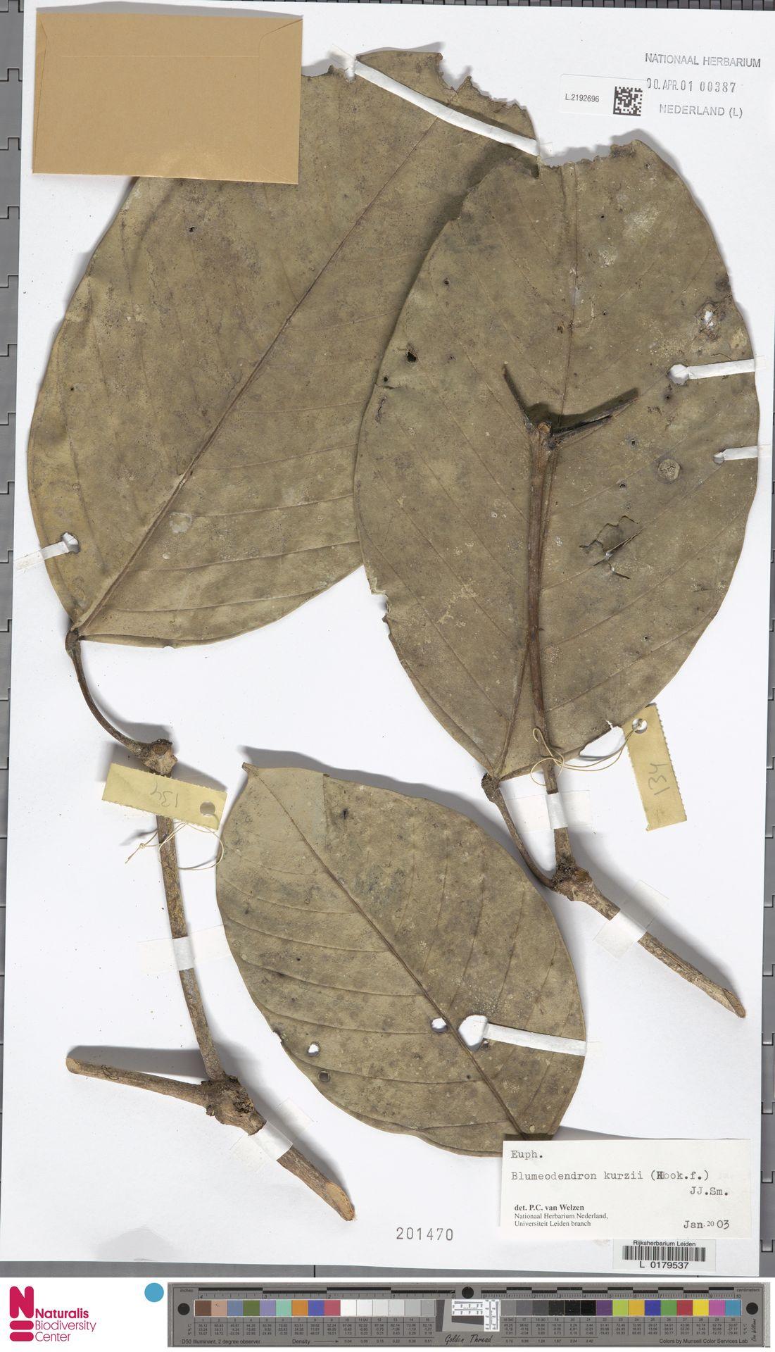 L.2192696 | Blumeodendron kurzii (Hook.f.) J.J.Sm.