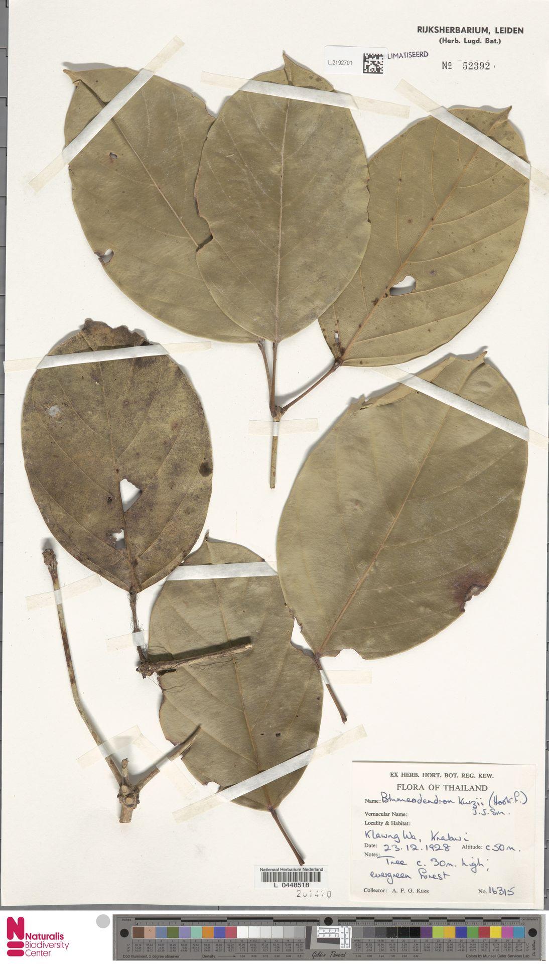 L.2192701 | Blumeodendron kurzii (Hook.f.) J.J.Sm.