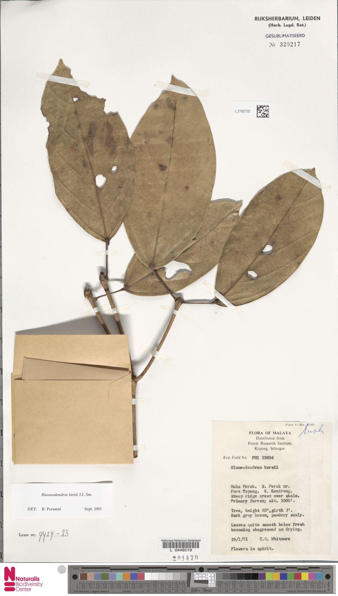 L.2192702 | Blumeodendron kurzii (Hook.f.) J.J.Sm.
