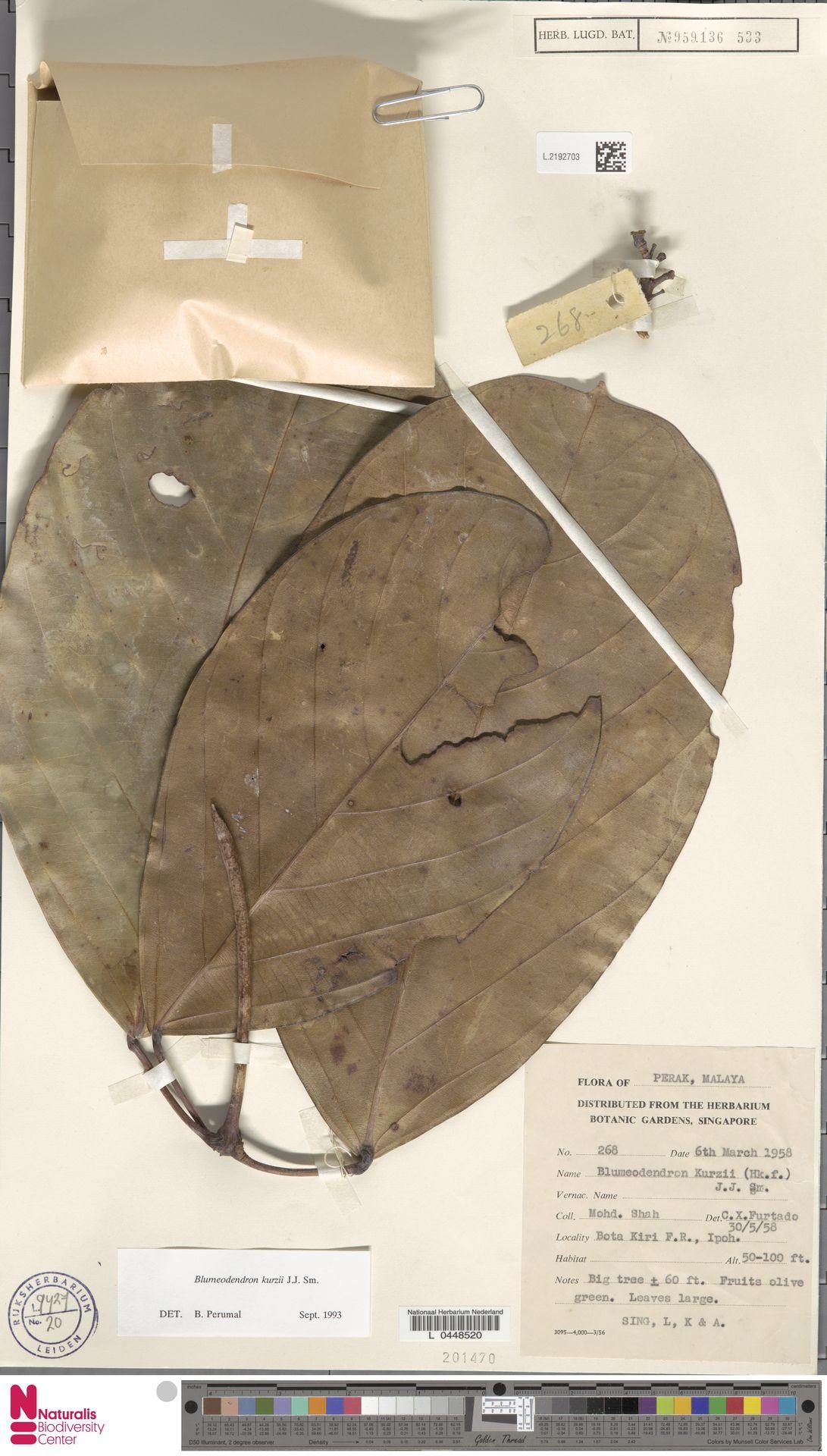 L.2192703 | Blumeodendron kurzii (Hook.f.) J.J.Sm.
