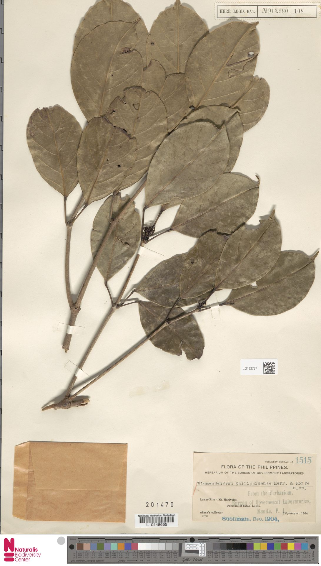 L.2192737 | Blumeodendron kurzii (Hook.f.) J.J.Sm.