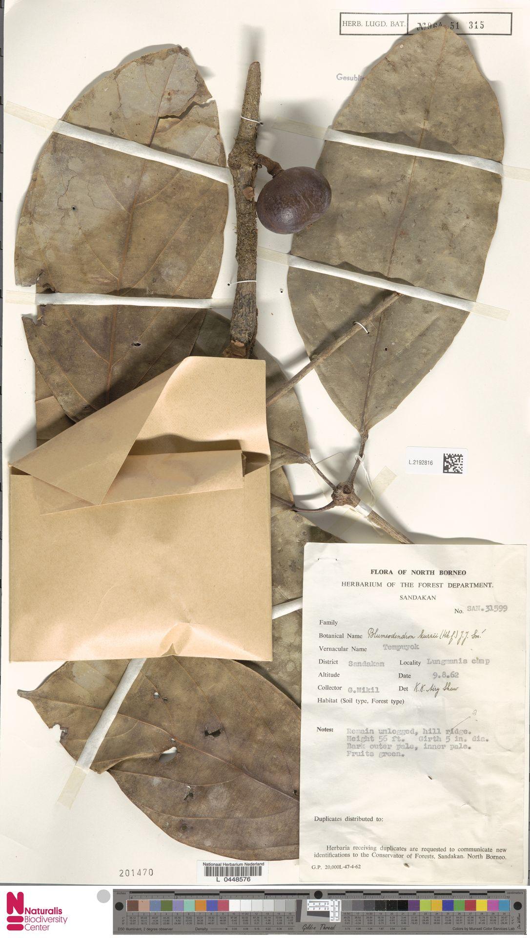 L.2192816 | Blumeodendron kurzii (Hook.f.) J.J.Sm.