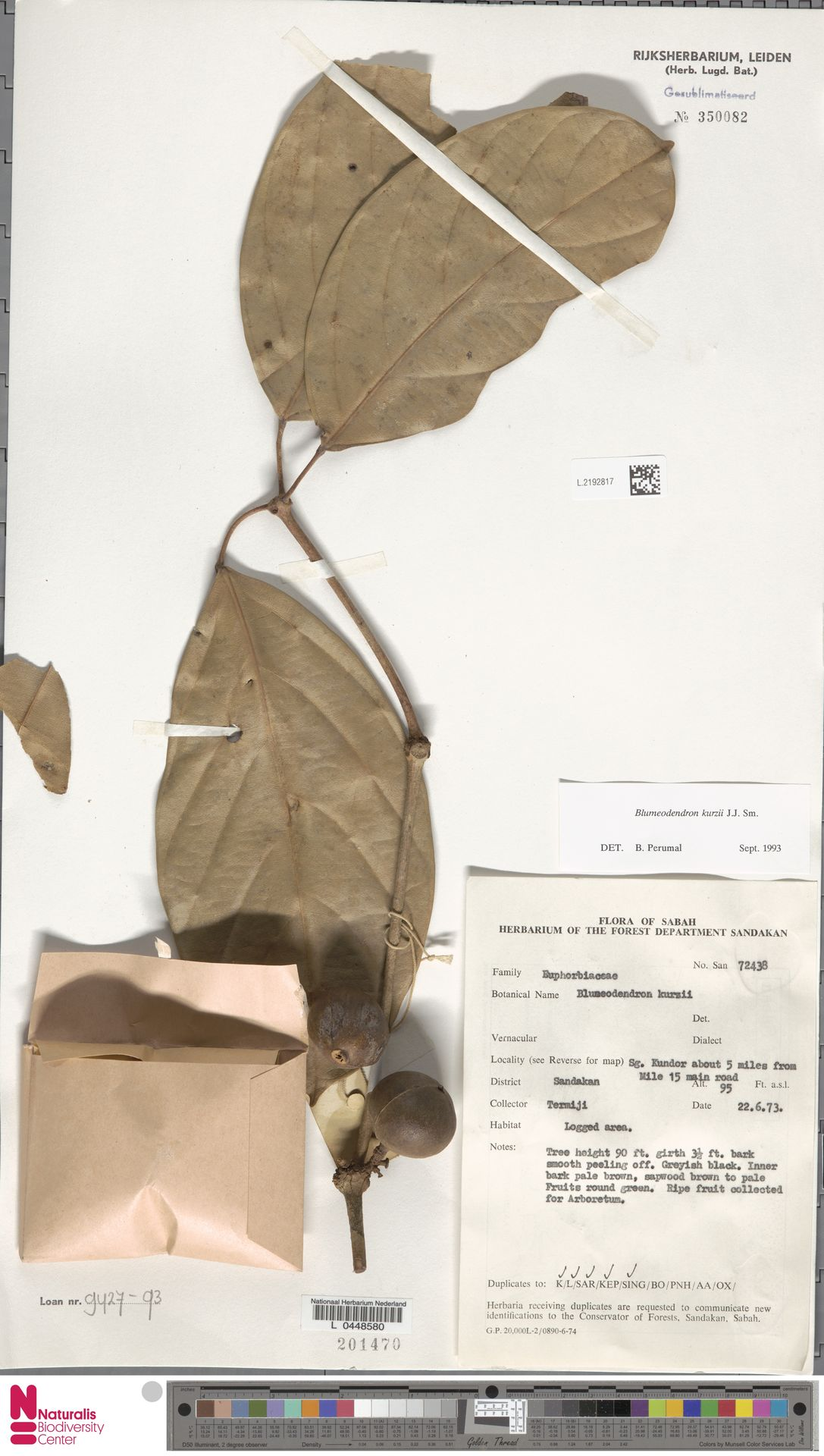 L.2192817 | Blumeodendron kurzii (Hook.f.) J.J.Sm.