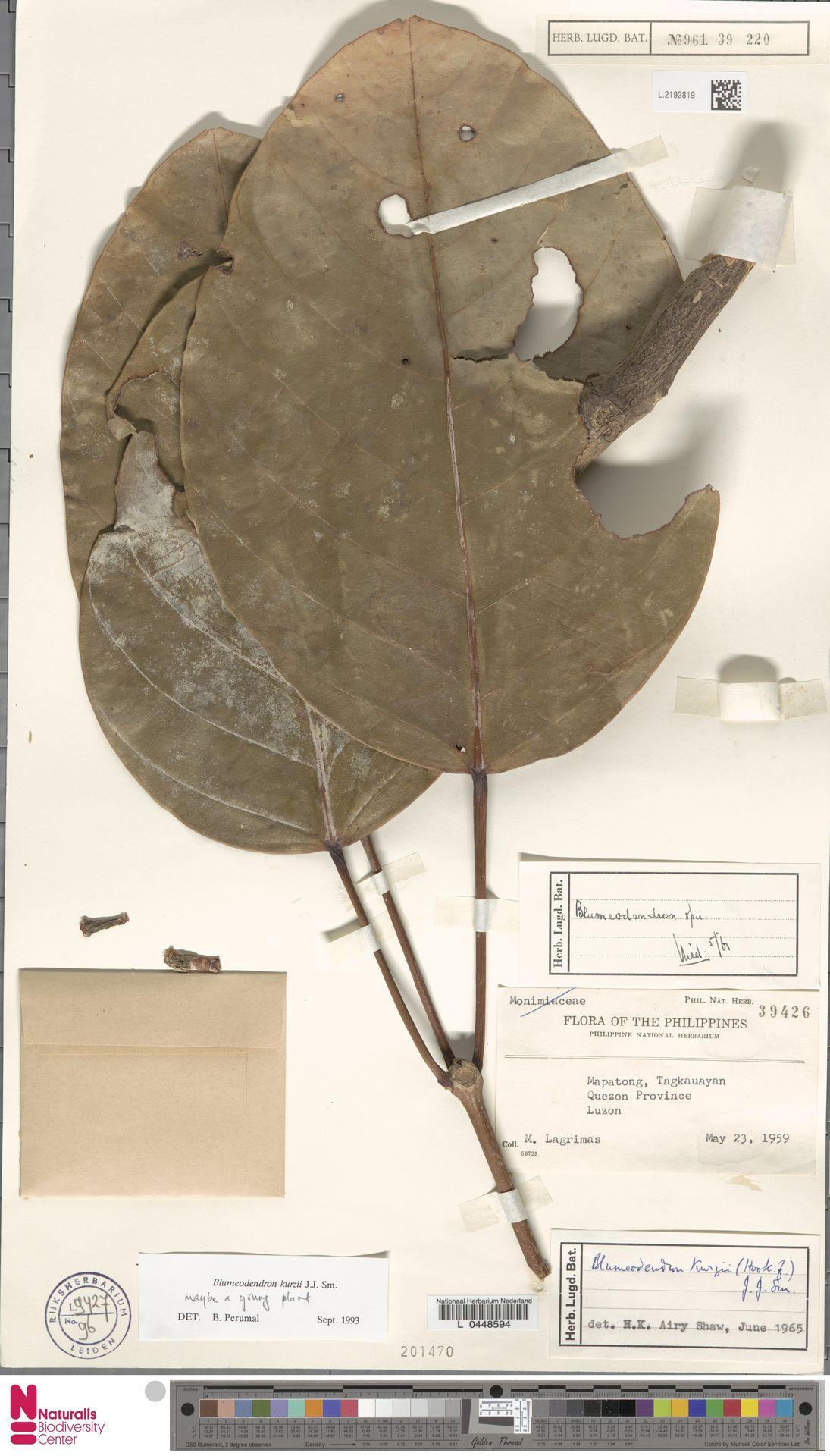 L.2192819 | Blumeodendron kurzii (Hook.f.) J.J.Sm.