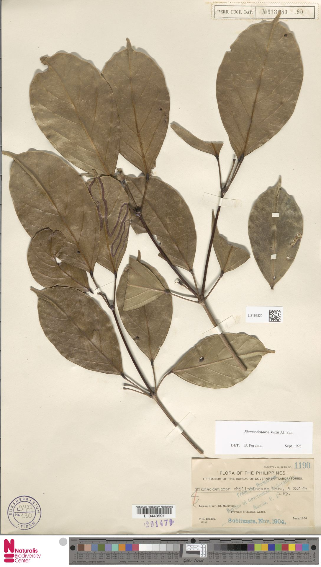 L.2192820 | Blumeodendron kurzii (Hook.f.) J.J.Sm.