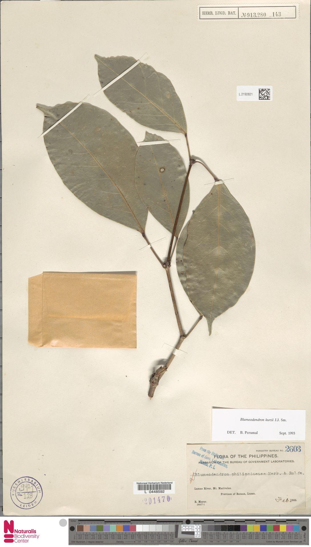 L.2192821 | Blumeodendron kurzii (Hook.f.) J.J.Sm.