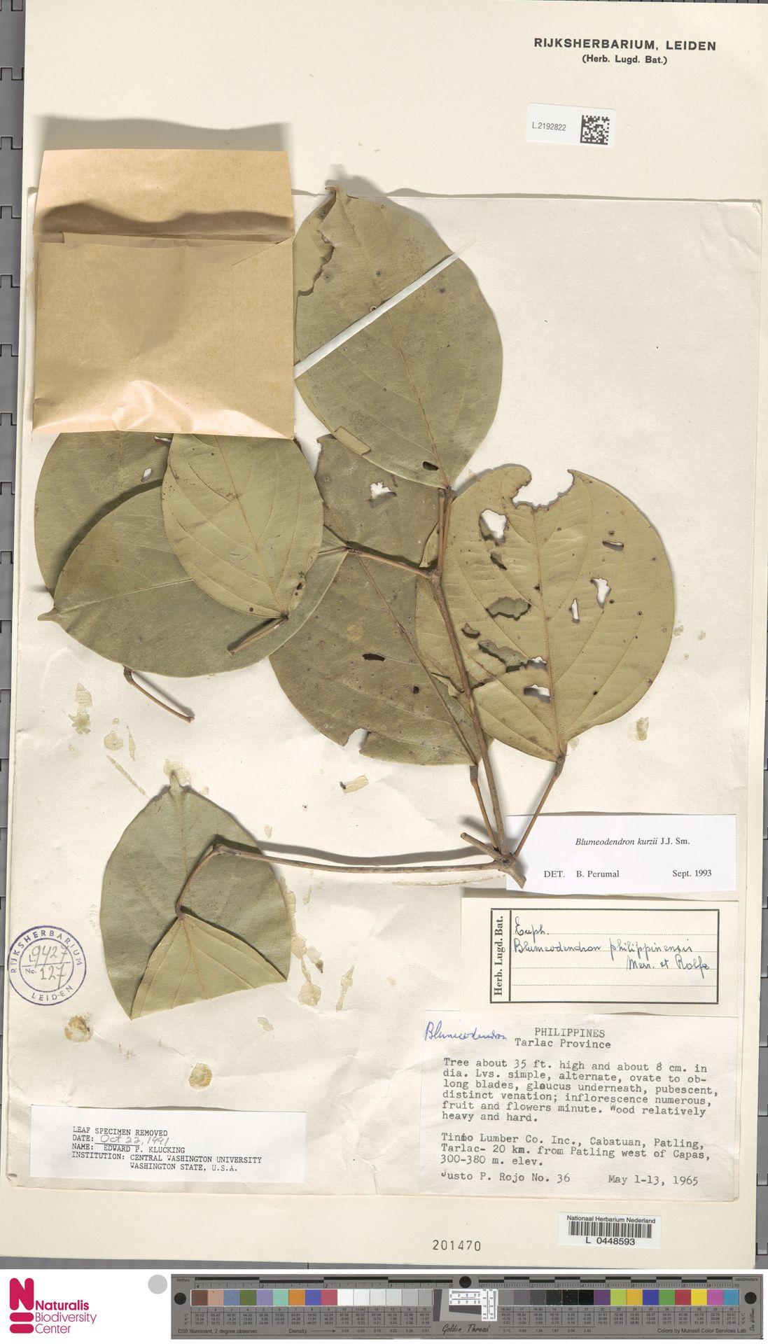 L.2192822 | Blumeodendron kurzii (Hook.f.) J.J.Sm.