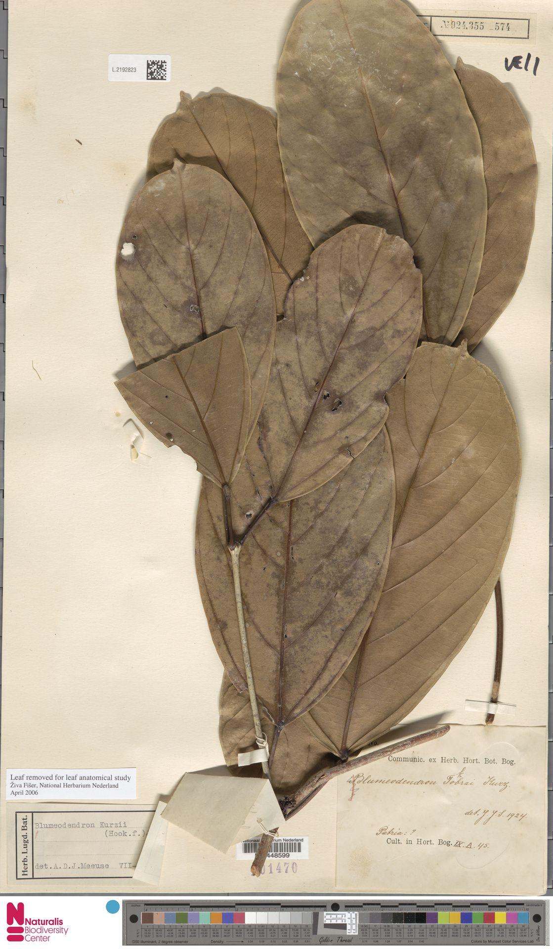 L.2192823 | Blumeodendron kurzii (Hook.f.) J.J.Sm.