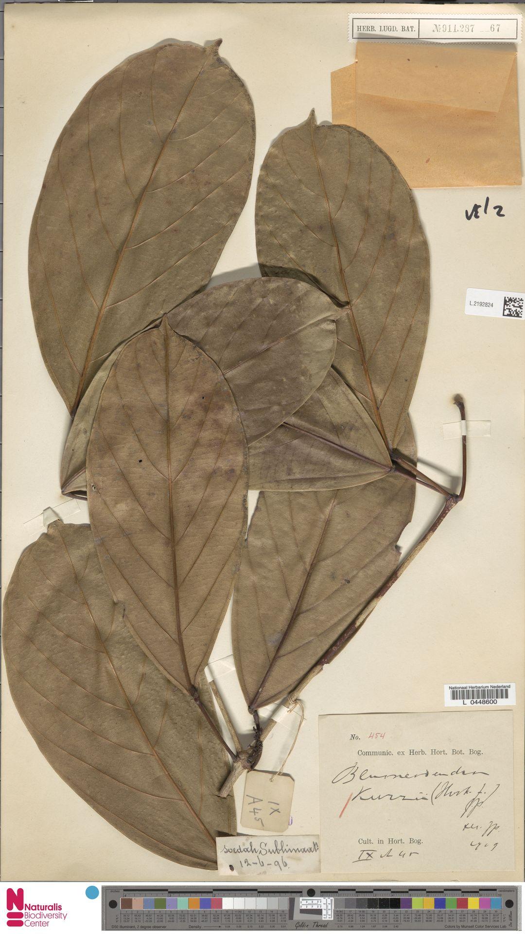 L.2192824 | Blumeodendron kurzii (Hook.f.) J.J.Sm.
