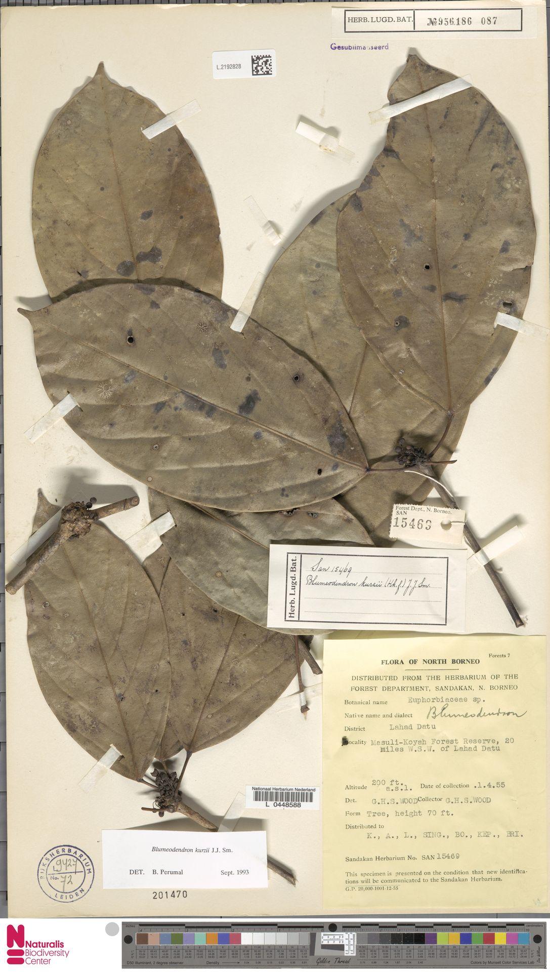 L.2192828 | Blumeodendron kurzii (Hook.f.) J.J.Sm.