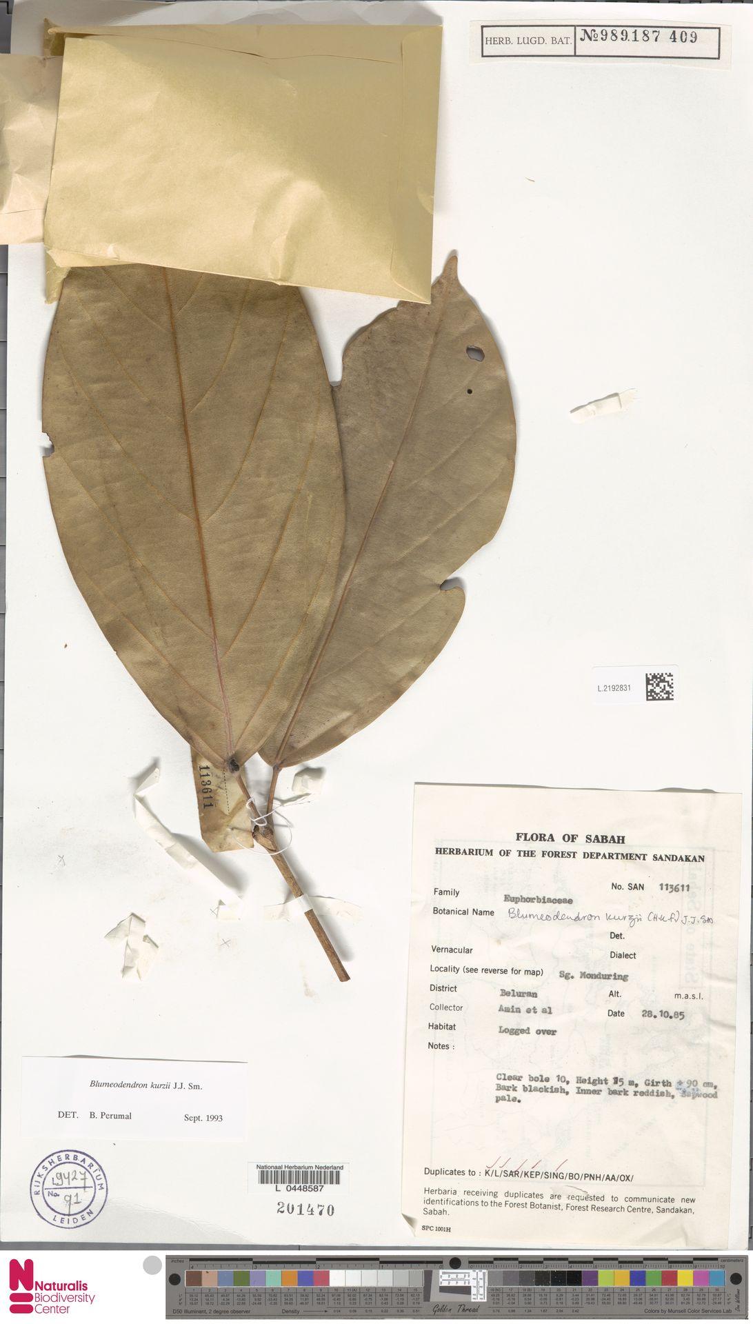 L.2192831 | Blumeodendron kurzii (Hook.f.) J.J.Sm.