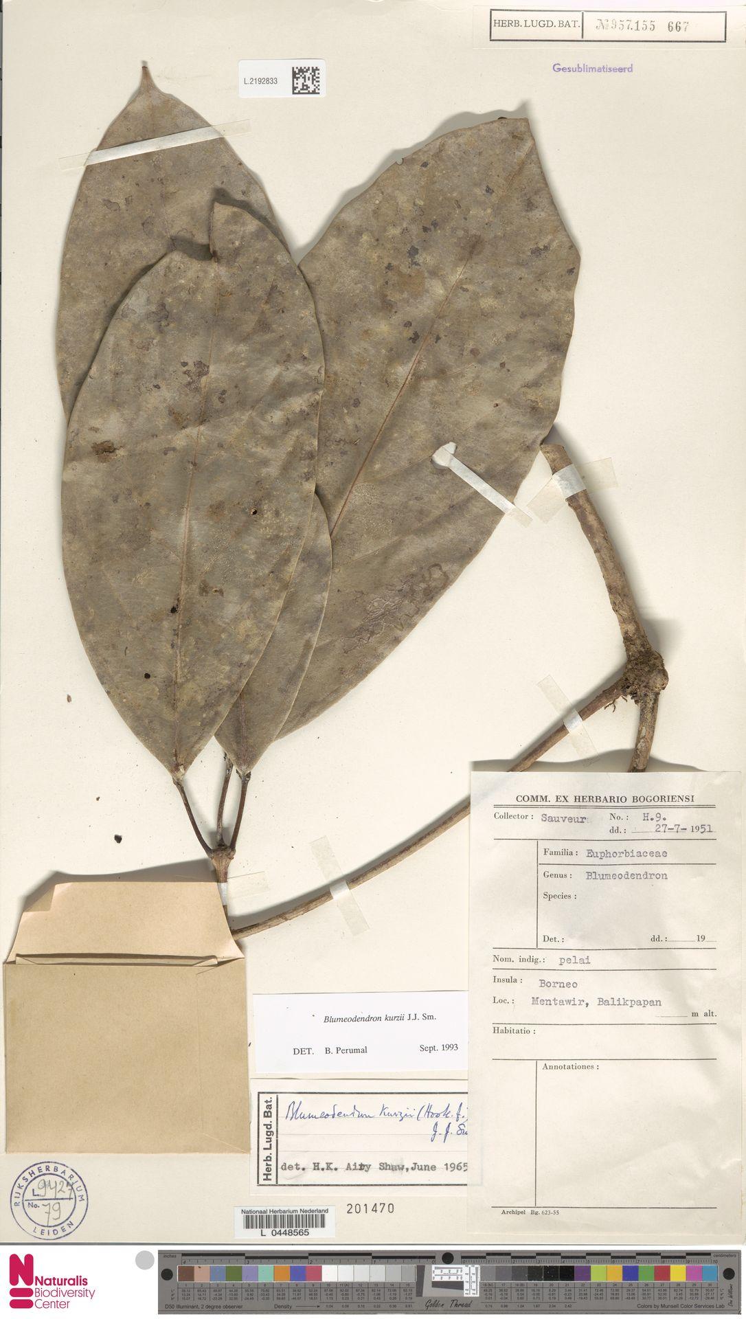 L.2192833 | Blumeodendron kurzii (Hook.f.) J.J.Sm.