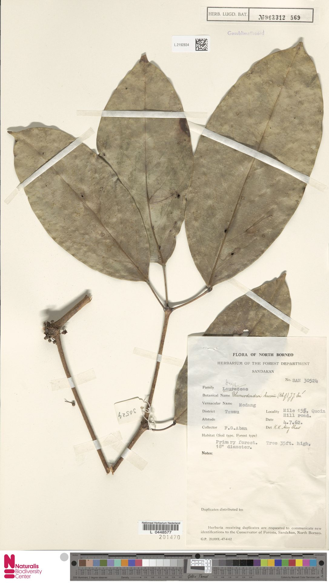 L.2192834 | Blumeodendron kurzii (Hook.f.) J.J.Sm.