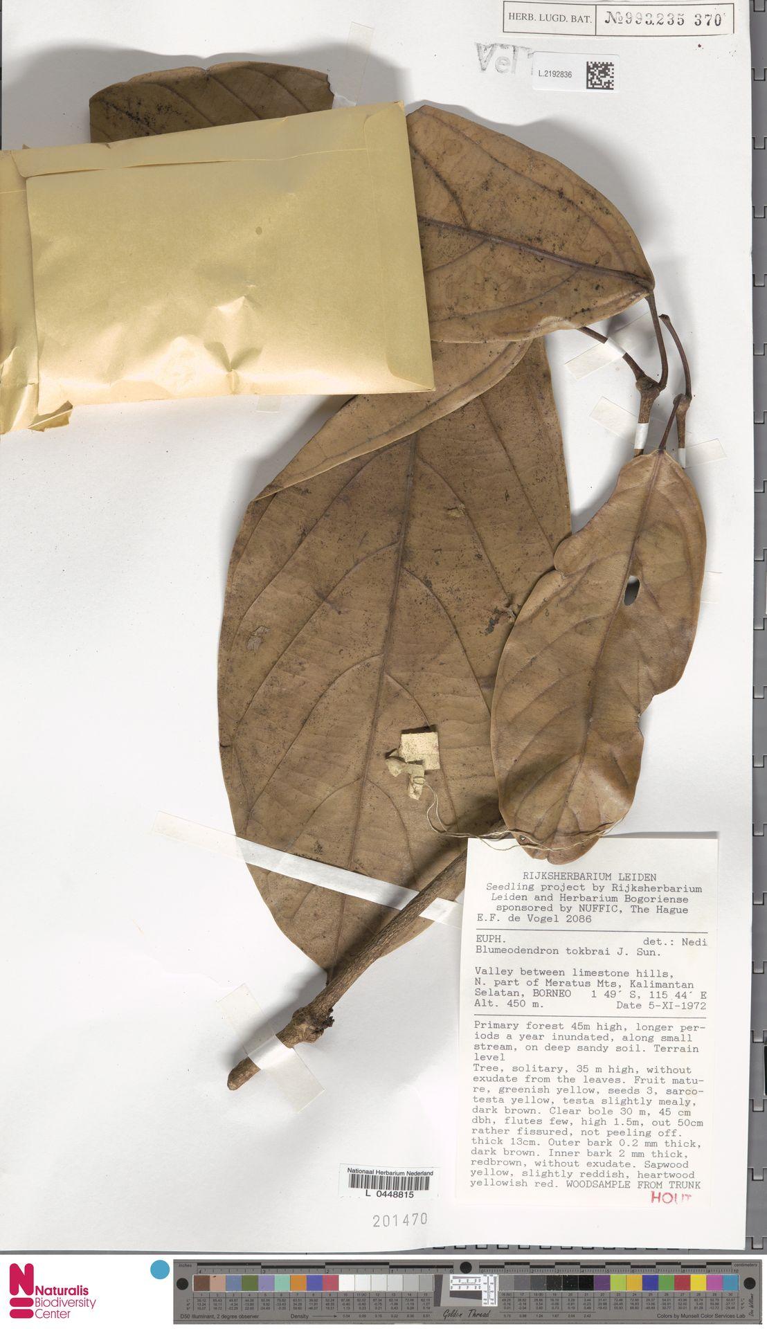 L.2192836 | Blumeodendron kurzii (Hook.f.) J.J.Sm.